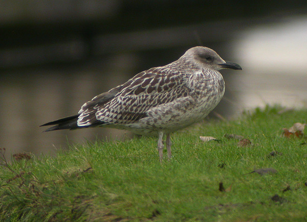 Lesser Black-backed Gull - Kleine Mantelmeeuw - Larus fuscus