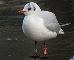 Black-headed Gull - Kokmeeuw - Chroicocephalus ridibundus