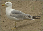 ad Yellow-legged Gull - Larus michahellis